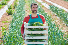 Farmer man harvesting onions in Mediterranean Royalty Free Stock Photo
