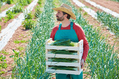Farmer man harvesting onions in Mediterranean Royalty Free Stock Images