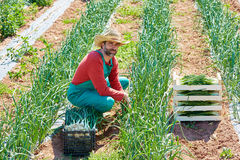 Farmer man harvesting onions in Mediterranean Royalty Free Stock Image