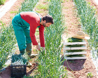 Farmer man harvesting onions in Mediterranean Stock Photos