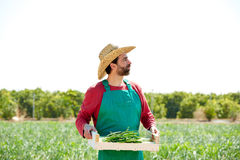 Farmer man harvesting onions in orchard field Royalty Free Stock Photos