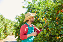 Farmer man harvesting oranges in an orange tree Stock Photos