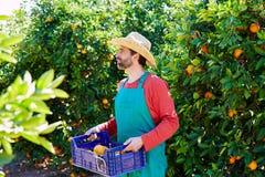 Farmer man harvesting oranges in an orange tree. Field Royalty Free Stock Images