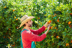 Farmer man harvesting oranges in an orange tree Royalty Free Stock Images