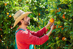 Farmer man harvesting oranges in an orange tree Royalty Free Stock Photos