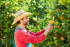 Farmer man harvesting oranges in an orange tree Royalty Free Stock Photo