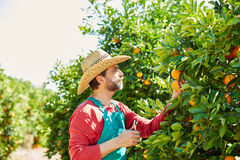 Farmer man harvesting oranges in an orange tree Royalty Free Stock Image