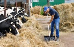 Farmer man running shovel at farm of cows