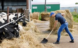 Farmer man running shovel at farm of cows. Farmer man running shovel on farm of cows royalty free stock photos