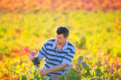 Farmer man in vineyard harvest autumn leaves in mediterranean Royalty Free Stock Photography