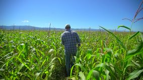 Farmer man walking through plantation of corn. Male farmer hands checking and inspecting quality of plants of organic. Corn in field. Harvesting Agriculture stock footage