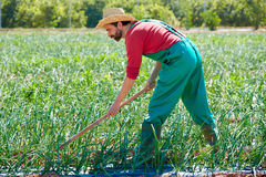 Farmer man working in onion orchard with hoe Royalty Free Stock Photo