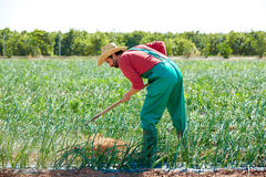 Farmer man working in onion orchard with hoe Royalty Free Stock Photos