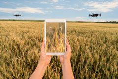 A farmer manages drones with a tablet. Smart farming and agriculture royalty free stock photo
