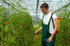 Farmer manuring tomato plants Royalty Free Stock Images