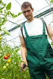 Farmer manuring tomatoes Royalty Free Stock Photo