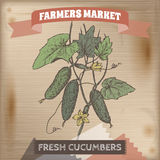 Farmer market label with cucumbers on branch color sketch. Royalty Free Stock Images