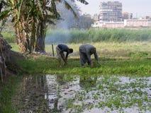 Farmer men in Dahab Islam harvesting seeds Stock Photo