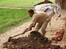Farmer men in Dahab Islam harvesting seeds Stock Images