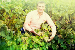 Farmer near grapes in vineyard Royalty Free Stock Photos