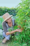 Farmer near small tomatoes Royalty Free Stock Image