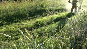 Farmer near wheat field in  morning mowing sunny dewy grass stock video footage