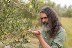 Farmer observing olive on plant Stock Images