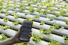 Farmer observing some charts growth vegetable filed in mobile phone, hydroponic eco organic modern smart farm 4.0 technology conce stock photo