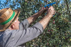 Farmer and olives Stock Images