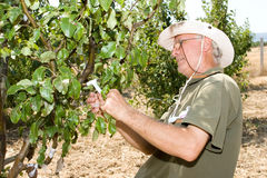 Farmer in an orchard Stock Image