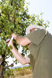 Farmer in an orchard Stock Photography