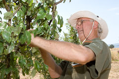 Farmer in an orchard Royalty Free Stock Images