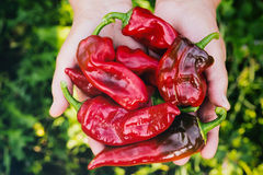 Farmer with Organic Harvest - Peppers Royalty Free Stock Photo