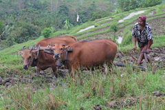 Farmer and oxen in the rice fields of Bali Royalty Free Stock Image
