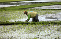 Farmer in paddy field Royalty Free Stock Photography