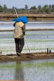 Farmer at Paddy Field Stock Images