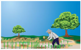 The farmer. Farmer in paddy rice  design Royalty Free Stock Image