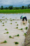 The farmer in the paddyfield. The female farmer is working hard in the paddyfield Stock Photography