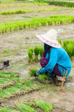 Farmer in paddy field. Farmer is working in paddyfield in northern Thailand Stock Photo