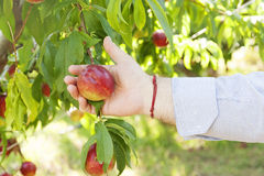 Farmer peach and leaves Stock Images