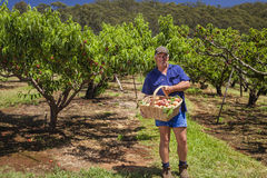Farmer with peaches Stock Images