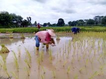 Farmer. Peasantry planting Rice seedlings rice seedlings planting fields countryside agriculture background Culture Economic-Sufficiency stock photos