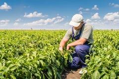 Farmer in pepper fields. Young farmer in pepper fields Royalty Free Stock Photos