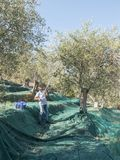 Farmer performs the grinding operation of the olives on the use. Of electric knobs in a terraced countryside in liguria in Italy. Green nets stretched over the Royalty Free Stock Photo