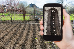 Farmer photographs the planting of potatoes. Gardening concept - farmer photographs the planting of potatoes in furrow in vegetable garden in spring season on royalty free stock image