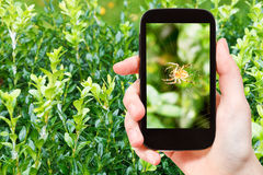 Farmer photographs spider on web on boxtree Stock Image