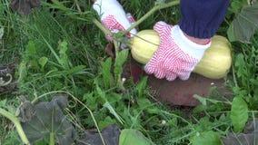 Farmer pick harvesting fresh waltham butternut pumpkin stock video