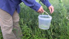 Farmer pick pea pod in plastic bucket stock video