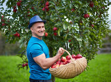 Farmer picking apples in a basket Royalty Free Stock Image