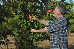 Farmer picking apricot fruit in orchard Stock Photo